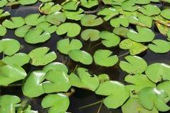 Зеленый лотос лист Стоковые Фотографии RF