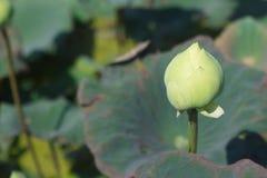 зеленый лотос Стоковые Изображения RF