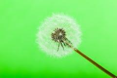 Зеленый одуванчик стоковые изображения rf