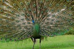 Зеленый павлин Таиланда Стоковое Фото