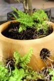 Зеленый папоротник в баке Стоковая Фотография RF