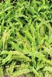 Зеленый папоротник в саде как предпосылка Стоковые Изображения