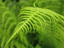 Зеленый папоротник в тропическом лесе (макрос) Стоковая Фотография