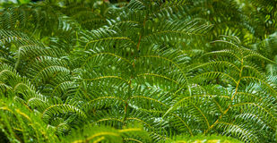 Зеленый папоротник засаживает предпосылку Стоковые Изображения
