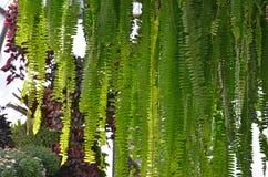 Зеленый папоротник лист в солнечном свете Стоковые Изображения RF