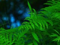 Зеленый папоротник лист Стоковая Фотография
