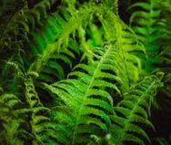 Зеленый папоротник Стоковое Изображение RF