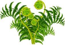Зеленый папоротник иллюстрация штока