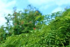 Зеленый папоротник Стоковое Фото
