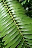Зеленый папоротник Стоковая Фотография