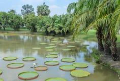 Зеленый парк с Викторией Waterlily Стоковое Фото