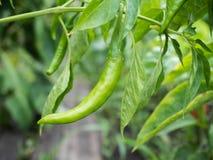 Зеленый перец на ветви Стоковая Фотография