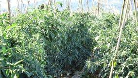 Зеленый перец chili в саде, город Lat Da, провинция Lam Dong, Вьетнам видеоматериал