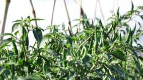 Зеленый перец chili в саде, город Lat Da, провинция Lam Dong, Вьетнам акции видеоматериалы