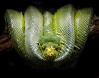 Зеленый питон дерева свернутый спиралью на ветви Viridis Morelia Стоковые Изображения RF