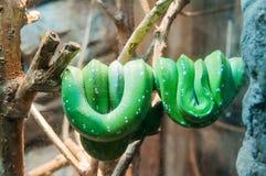 Зеленый питон дерева стоковые изображения