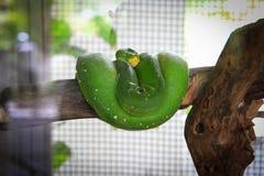 Зеленый питон дерева Стоковая Фотография RF