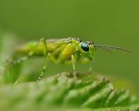 Зеленый пилильщик на лист в макросе стоковая фотография rf