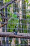 Зеленый попугай Амазонки в Puerto de Ла Cruz, Тенерифе Стоковое фото RF