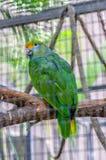 Зеленый попугай Амазонки в Puerto de Ла Cruz, Тенерифе Стоковая Фотография