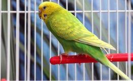 Зеленый попугай в клетке Стоковые Изображения