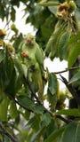 Зеленый попугай есть каштан в садах Kew в Лондоне Стоковое Изображение