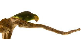 Зеленый попугай сидя на ветви - изолированной на белизне Стоковое Фото