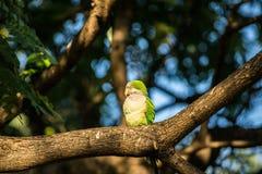 Зеленый попугай сидя на ветви Стоковая Фотография