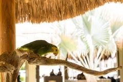 Зеленый попугай сидя на ветви Стоковая Фотография RF