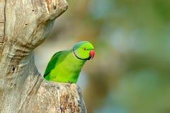 Зеленый попугай сидя на стволе дерева с зеленой предпосылкой Роза-окружённый длиннохвостый попугай, krameri ожерелового попугая,  Стоковое фото RF