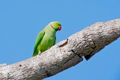Зеленый попугай сидя на стволе дерева с зеленой предпосылкой Роза-окружённый длиннохвостый попугай, krameri ожерелового попугая,  Стоковые Фото