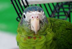 Зеленый попугай Стоковое Фото