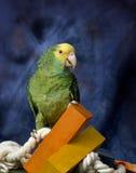 зеленый попугай Стоковое Изображение RF