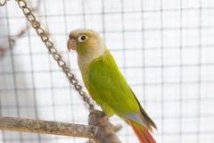 Зеленый попыгай в клетке Стоковая Фотография