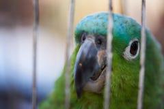 Зеленый попыгай в клетке Стоковые Фотографии RF