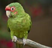 зеленый попыгай Стоковое фото RF