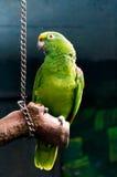 зеленый попыгай стоковые фото