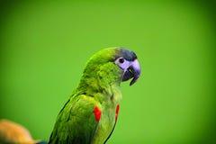 зеленый попыгай Стоковое Изображение