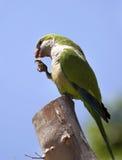 Зеленый попыгай Quaker стоковые фото