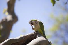 Зеленый попыгай Quaker стоковая фотография