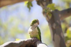 Зеленый попыгай Quaker стоковая фотография rf