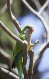 Зеленый попыгай Quaker стоковое фото rf