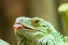 Зеленый портрет гада игуаны Стоковое Изображение