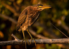 Зеленый портрет птицы цапли Стоковые Изображения