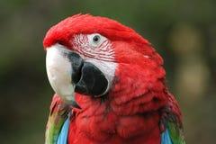 зеленый подогнали macaw, котор стоковое фото