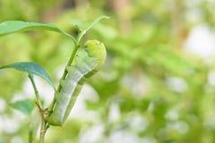 Зеленый пухлый червь Стоковая Фотография