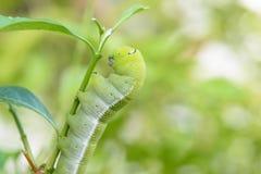 Зеленый пухлый червь Стоковое Изображение