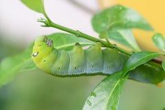 Зеленый пухлый червь Стоковые Фотографии RF