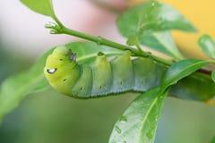 Зеленый пухлый червь Стоковая Фотография RF