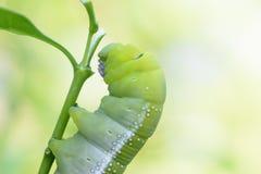 Зеленый пухлый червь Стоковое Фото